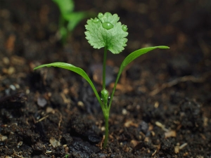 Growing Coriander In Your Garden