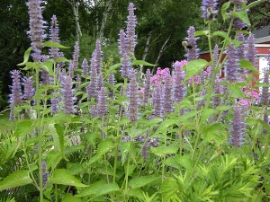Tips For Growing Anise Hyssop Plant