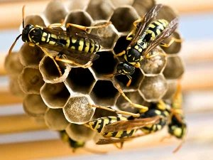 Home Remedies To Drive Wasps Away