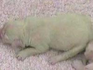 Green Puppy Golden Retriever Breed