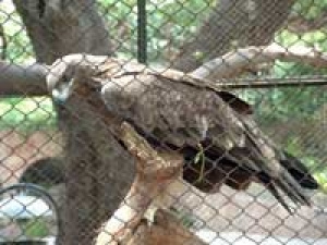 Eagle Tetu Zoo Stories