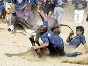 Jallikkattu Bull Fight