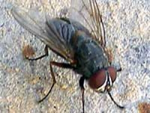 Eradicate Houseflies Tips 020311 Aid