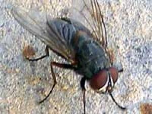 Eradicate Houseflies Tips 020311 Aid