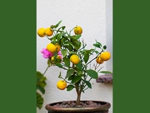 How To Grow Lemon In Your Garden