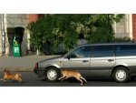 Ever Wondered Why Dogs Run Behind Moving Vehicles