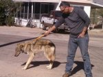 A Man Accidentally Adopted A Wolf