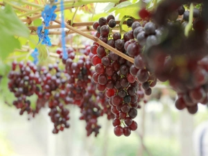 Amazing Health Benefits Of Grape Seeds That You Need To Know