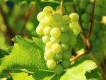 Grape Compounds Can Kill Colon Cancer Cells