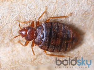 Effective Home Remedies To Get Rid Of Bed Bugs Naturally