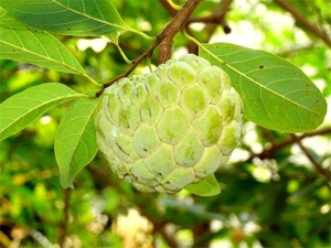 Does Eating Custard Apple Cause Cold?