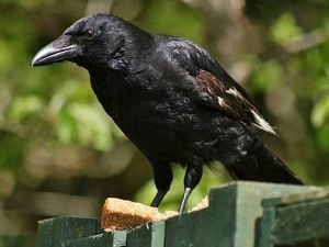 Pitra Paksha Crows Indicating Your Near Future