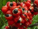 Guarana Nutritional Value Benefits Uses And Caution
