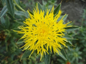 Safflower Oil Benefits For Skin Hair And Health