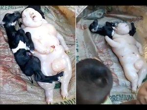 Goat Gives Birth To Half Pig Half Human Animal