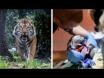A Video Of Tiger Undergoing Root Canal Has Gone Viral