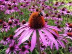 Echinacea Uses Benefits Recipes