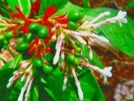 Benefits Of Rauwolfia Serpentina