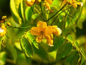 Senna Benefits Dosage Side Effects