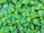 Nettle Leaf Nutrition Benefits Recipes