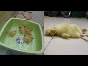 She Bought Eggs To Eat But Was Shocked To See Ducklings Hatch Out Of It