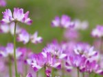 Astragalus Nutrition Uses And Benefits