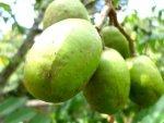 Health Benefits Of Ambarella