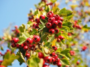 Hawthorn Nutrition Benefits Recipes