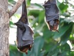 Nipah Virus Transmission Symptoms Treatment