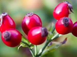 Rose Hip Nutrition Benefits Recipes
