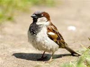 House Sparrows Extinction