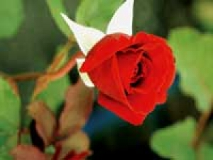 Red Rose Care Gardening Tips 140211 Aid