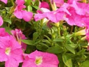 Summer Garden Pink Flowers 050411 Aid