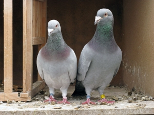 Pet Pigeons Bird Care Tips