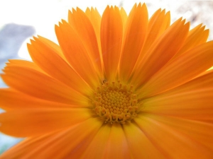 Tips To Grow Calendula In Garden