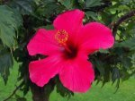 Five Ways To Use Hibiscus Leaves For Hair