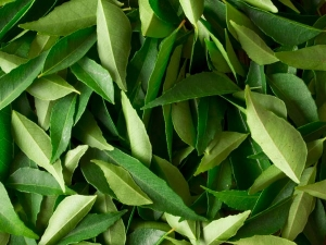 Benefits Of Curry Leaves Hair Care