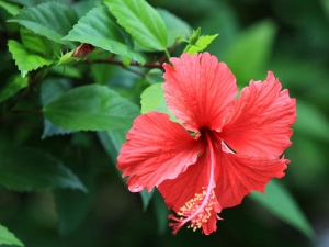 Diy Hibiscus Hair Mask For Silky Smooth Hair