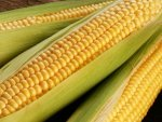 Why Is Eating Corn Good For You