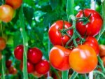 Tips To Keep In Mind While Growing Tomatoes