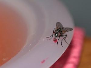 Houseflies Carries Bacteria Spread Diseases