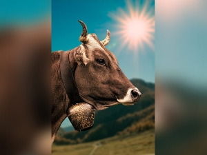 From Combating Aids To Skin Disorders Here Are The Health Benefits Of Drinking Cow Urine