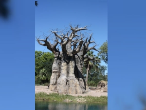 Africa S Ancient Baobab Trees Are Dying Due To Climate Change