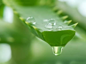 How Use Aloe Vera Swollen Feet