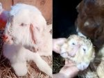 Bizarre Looking Mutant Goat Was Born With Two Heads And Three Ears