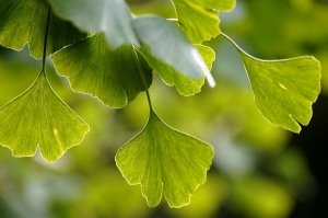 Ginkgo Biloba (Maidenhair Tree): Uses, Benefits & Risks