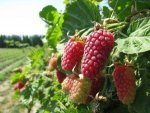 Loganberry Nutrition Benefits Recipes