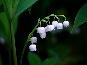Lily Of The Valley Benefits Dosage Side Effects