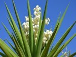 Health Benefits Of Yucca