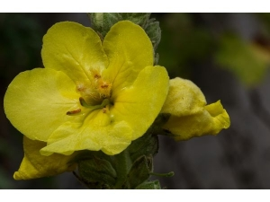 Mullein Benefits Uses Recipes